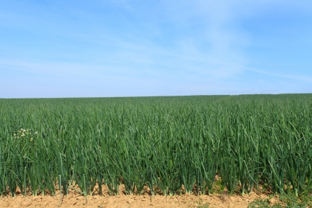 onion fields in summer under the sun Stock Photo