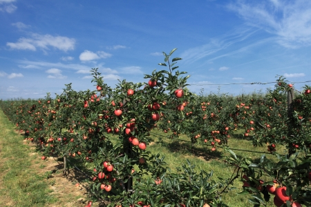 red apple orchard photo
