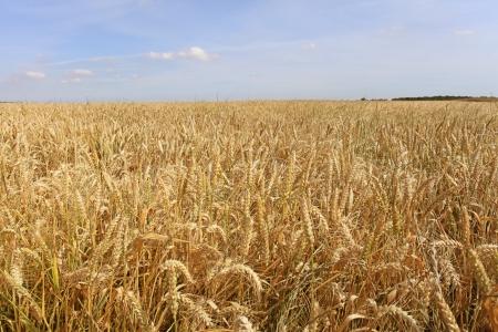 wheat harvest: campi di grano sotto il sole in estate prima del raccolto