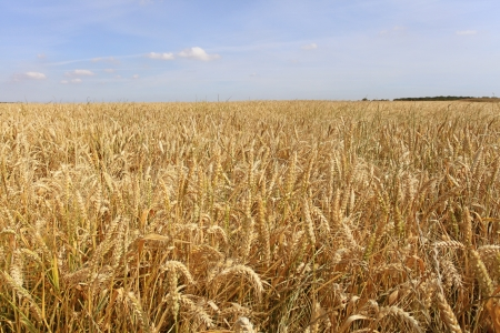 grain fields: wheat fields under the sun in the summer before harvest