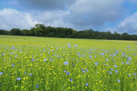 flax fields in spring