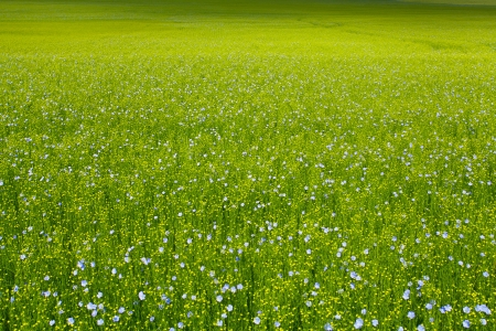 seed bed: flax fields in spring
