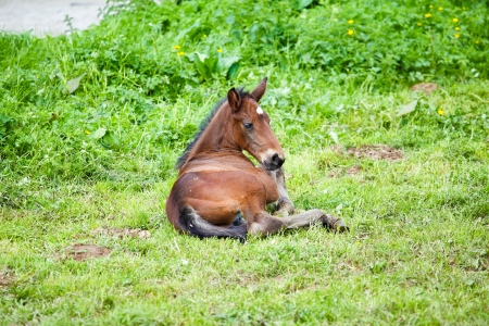 foal lying in the grass photo