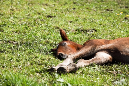 foal lying in the grass Stock Photo - 17238164