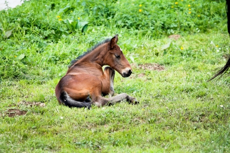 foal lying in the grass Stock Photo - 17594859