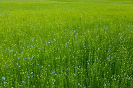 flax fields in spring photo