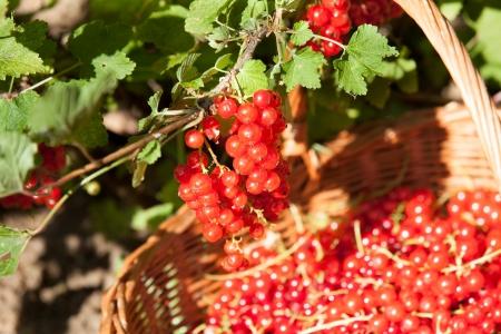 gooseberry bush: basket of red currants in the garden