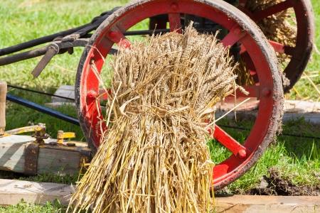 ancient tradition: gavilla de trigo cosechado por la tradici�n antigua