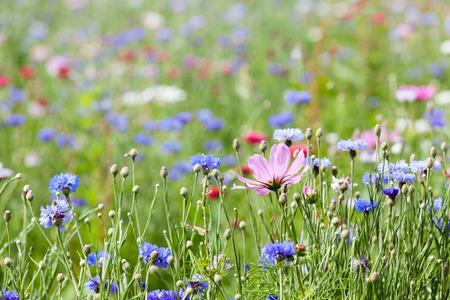 Blumenwiese Standard-Bild - 27831355