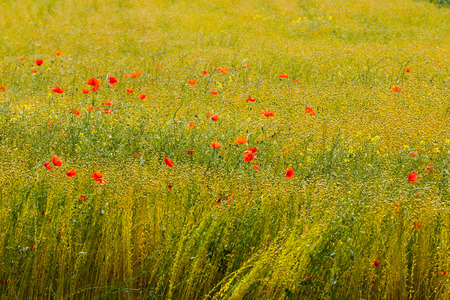 poppies in a field of flax photo