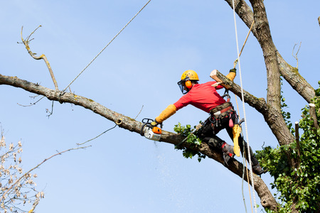 tree cutting: An arborist cutting a tree with a chainsaw