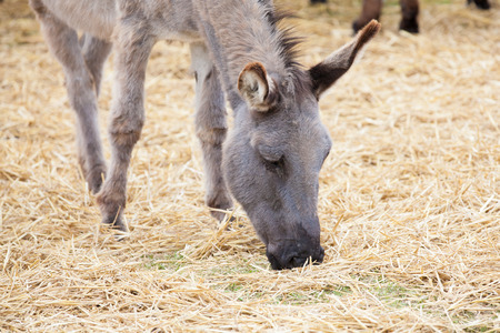 baby ass: young donkey eating grass