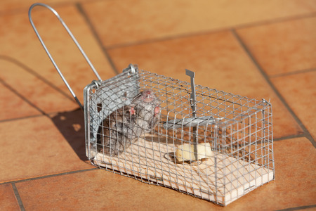 trapped: trapped mouse