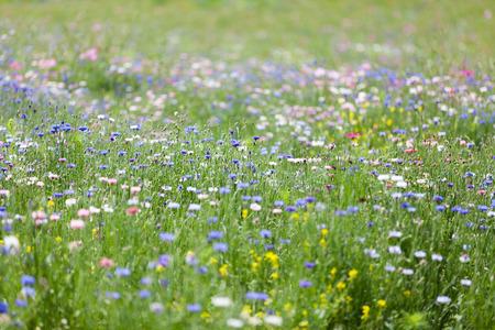 fleurs des champs: prairie fleurie