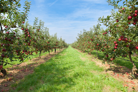 summer fruits: apple trees loaded with apples in an orchard in summer