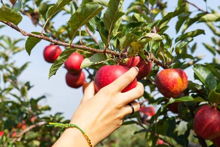 vrouw de hand plukken van een appel