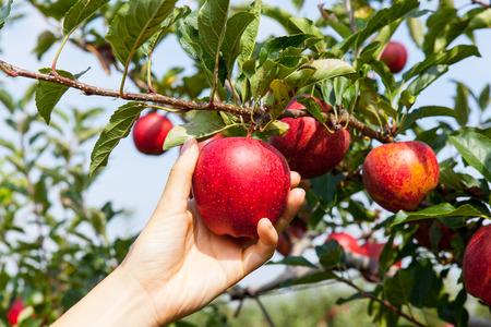woman hand picking an apple 스톡 콘텐츠