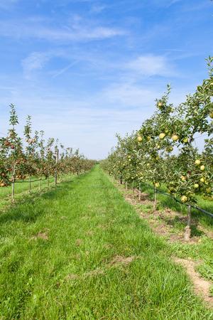 harvest field: apple orchard