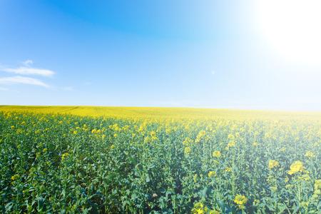 in bloom: rape fields in bloom