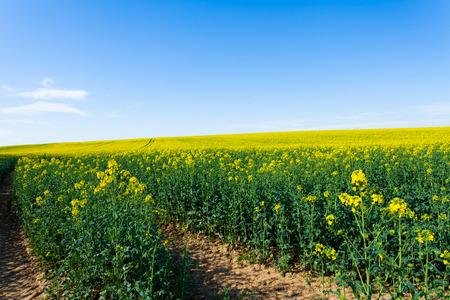 rappi: rape fields in bloom