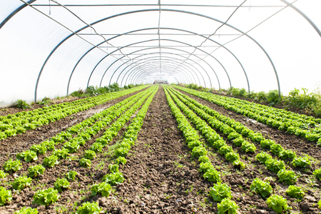in the greenhouse: culture of organic salad in greenhouses Stock Photo