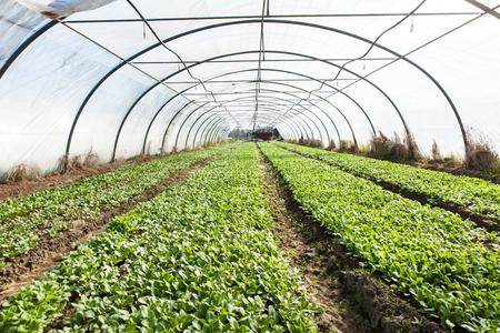 greenhouses: organic radish planting in greenhouses Stock Photo