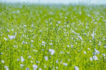 Large field of flax in bloom in spring Stockfoto