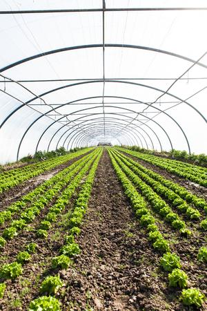 culture of organic salad in greenhouses Foto de archivo - 99561270