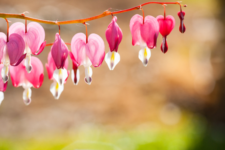 Soft focus of heart-shaped Bleeding heart flower pink and white color in summer. Blurred garden background.