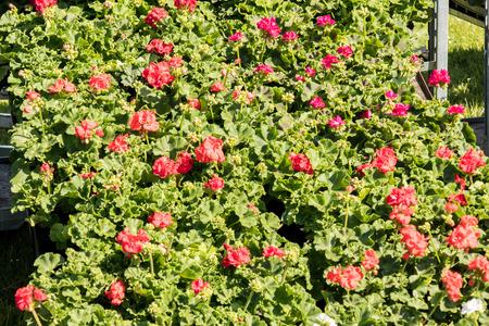 flowering geraniums in a spring flower market Standard-Bild