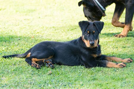 adorable young Beauce shepherd dog attentive and lying in the green grass