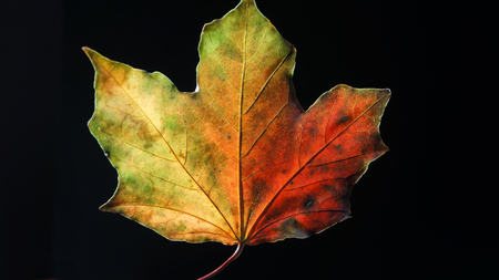 Backlit Macro shot of an Autumn Leaf showing its detail