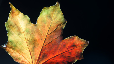 Back Lit Macro shot of an Autumn Leaf showing it's detail 스톡 콘텐츠