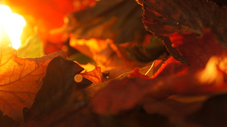 Abstract Closeup of Various Autumn Fall Leaves in Evening Light Background
