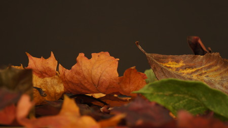 Various coloured Autumn / Fall leaves pictured against a dark texture background.