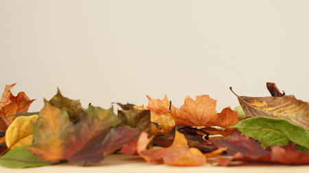 Various Autumn Leaves against a light coloured background