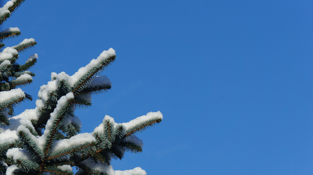 Snow covered pine tree branch against a clear blue sky close up