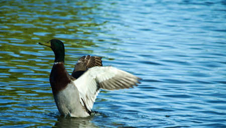 Brown and green duck at the lake, on the left of the picture, into the water, moving the wings