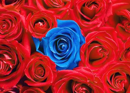 Blue rose among red ones. Фото со стока