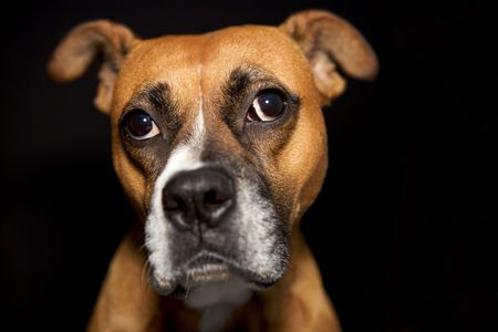 A cute boxer making a funny face Stock Photo