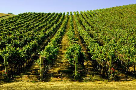 sonoma: A Wide Shot of a  Wine Yinyard with green