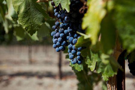 A Group of Wine Grapes At A Vinyard