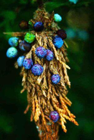 juniper: Juniper