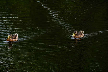 Two ducks swim parallel to each other in the afternoon