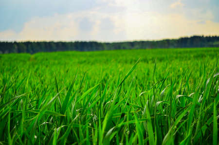 green grass on blue sky background in clear weather