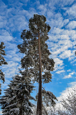 pine trees on blue sky background in winter from bottom to top
