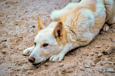 white dog lying on the sand and listening