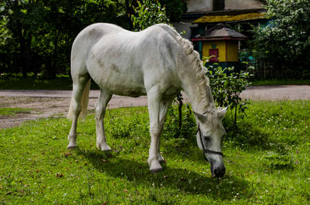 white horse grazing in the meadow in the summer afternoon Reklamní fotografie
