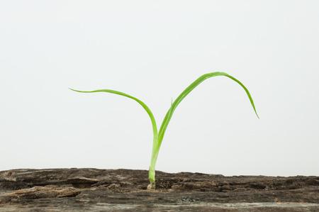Young dracaena loureiri grow up in molder wood on white background.