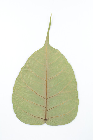 Back of semi dry leaf isolated detail texture. Heart shape leaf. Piple leaf onwhite back ground. Leaf of perennial plant.